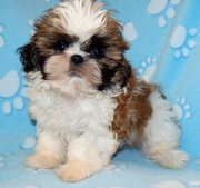 Freindly  Shih Tzu puppies for sale