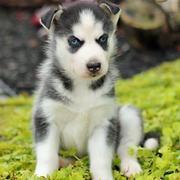 siberian-husky puppies for sale