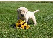 Marvelous female Labrador Retriever