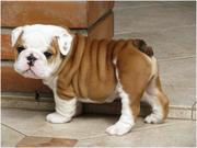 Gentle Male and Female English Bulldog Puppies!