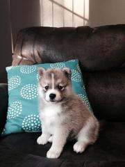 HGTY checked friendly,  and sociable Pomsky For Sale 07031957695