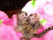 BVMH Adorable Twin Pygmy Marmoset and Capuchin 07031957695