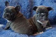 Stunning French Bulldog Puppy Boys For Sale