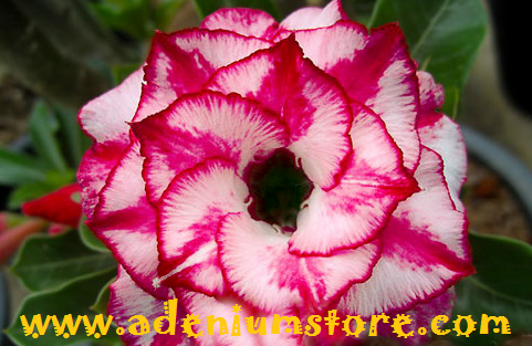 Tropical Flowering Plants & Seeds For Sale