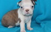 Kc Reg English Bulldog Female.